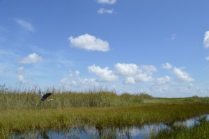 airboat ride in the everglades, everglades wildlife, blue heron in the everglades, birds in the everglades, travel blogger, adventure travel, fun travel, peanuts or pretzels travel blog