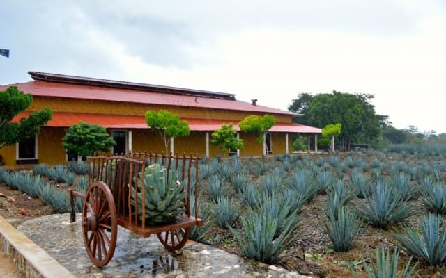 Looking at a field of Agave plants at Mayapan tequila farm and distillery outside valladolid mexico in the yucatan with bright yellow building in the background