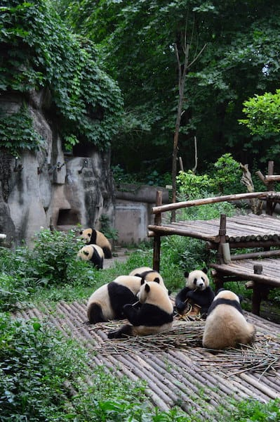 Hanging out with Pandas in Chengdu