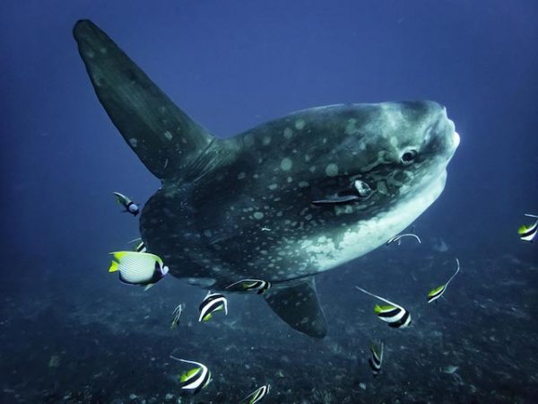 diving bali indonesia, mola mola sunfish