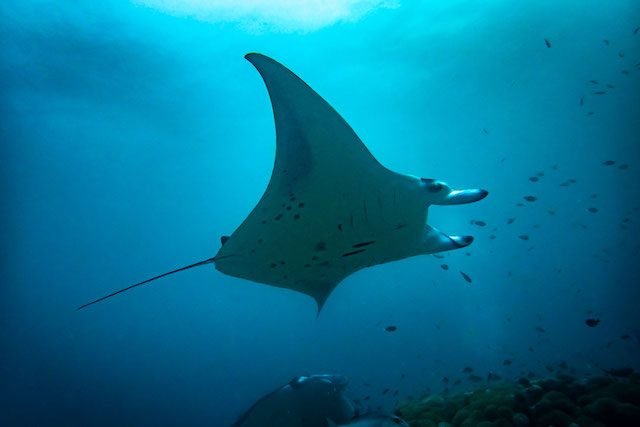 reef manta ray, scuba diving bali