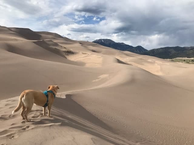 Yellow labrador with a blue harness standing on the top of some of the dunes at the Great Sand Dunes looking out in the distance at people.