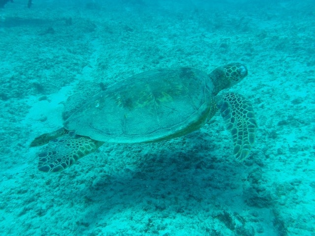 sea turtle under water swimming